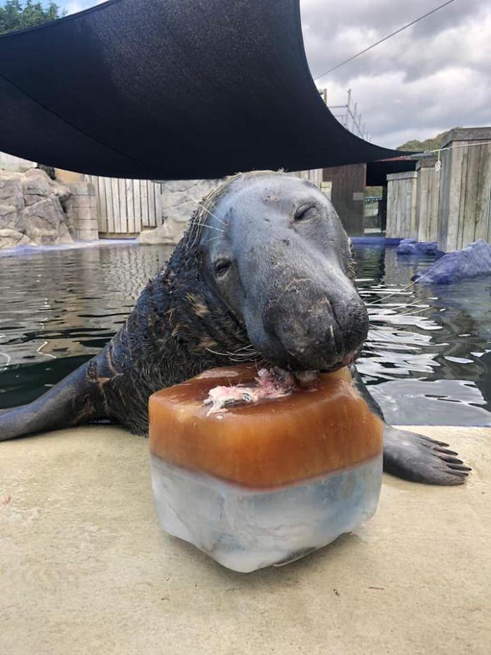На 31-й день рождения серому тюленю вручили большой рыбный торт: его реакция тронула окружающих (фото)