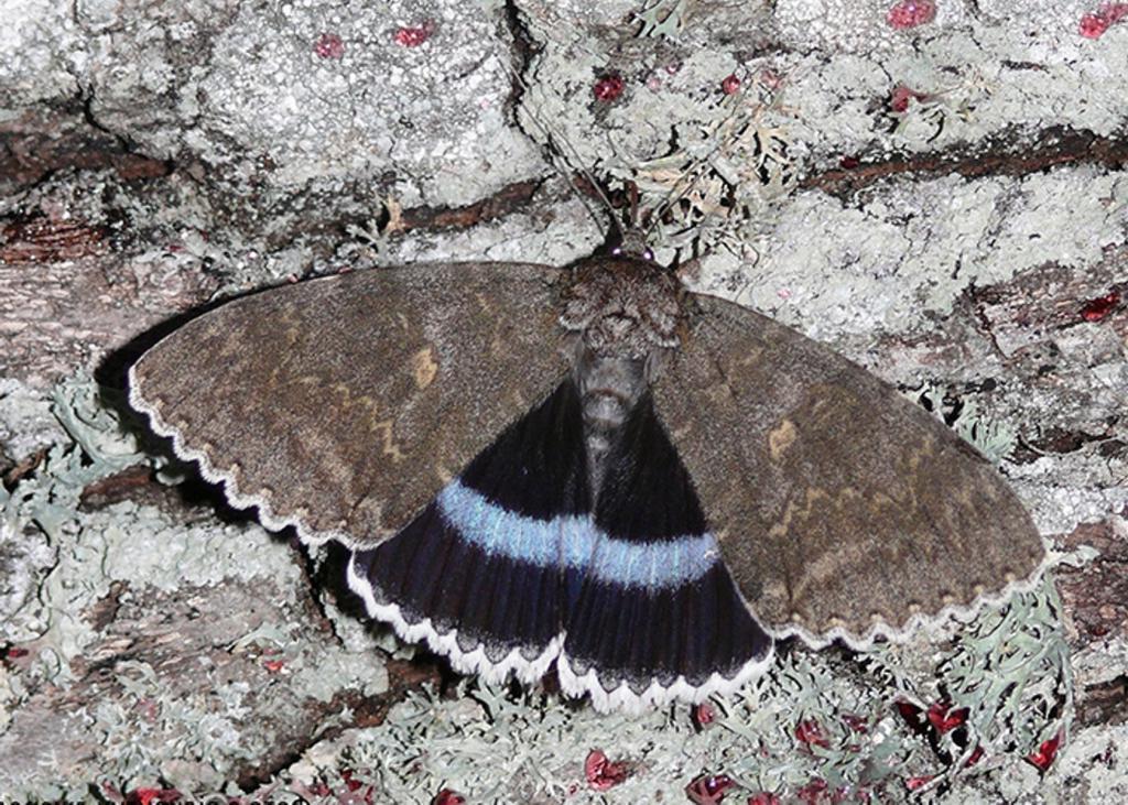 В Красной книге Украины: в Чернобыле обнаружили редкую бабочку размером с птицу