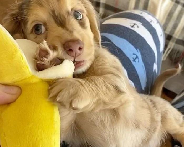 Пронзительный взгляд и необычная шерстка: как щенок таксы стал настоящей звездой интернета