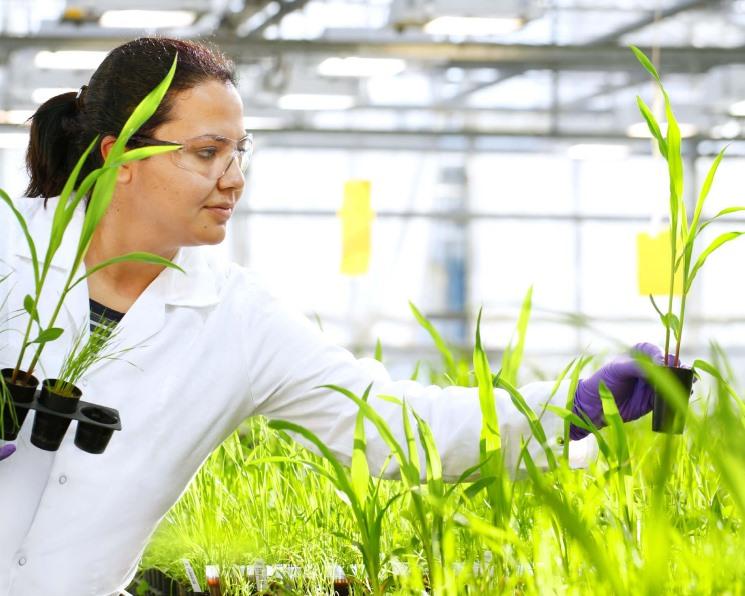 Модифицированные технологией CRISPR тополя могут сократить выбросы CO₂ при производстве бумаги