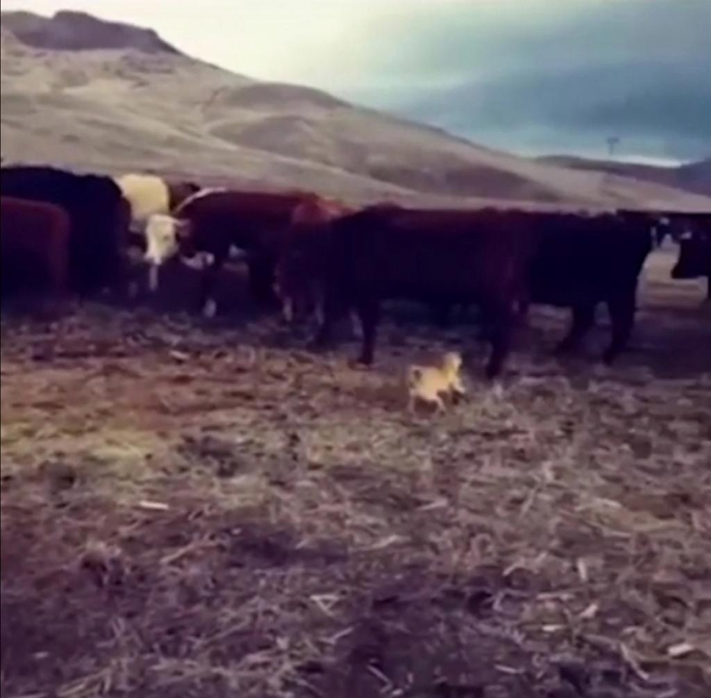 Фермер показал, как его малыши-мопсы справляются со стадом коров: люди в восторге от умений собак