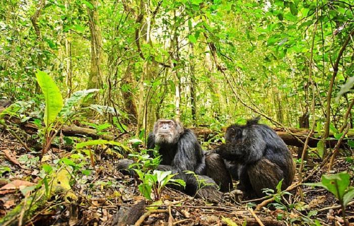 Чем старше, тем меньше друзей, но зато они самые верные: исследователи понаблюдали за шимпанзе и их социальной жизнью