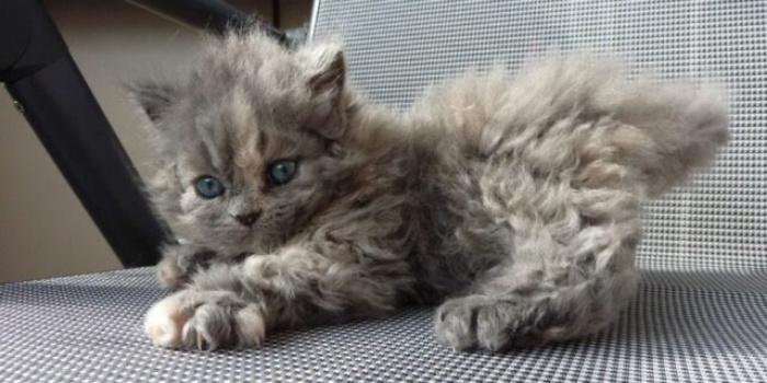 О существовании этой породы кошек многие не догадываются: очаровательные кошки-пудели (фото)