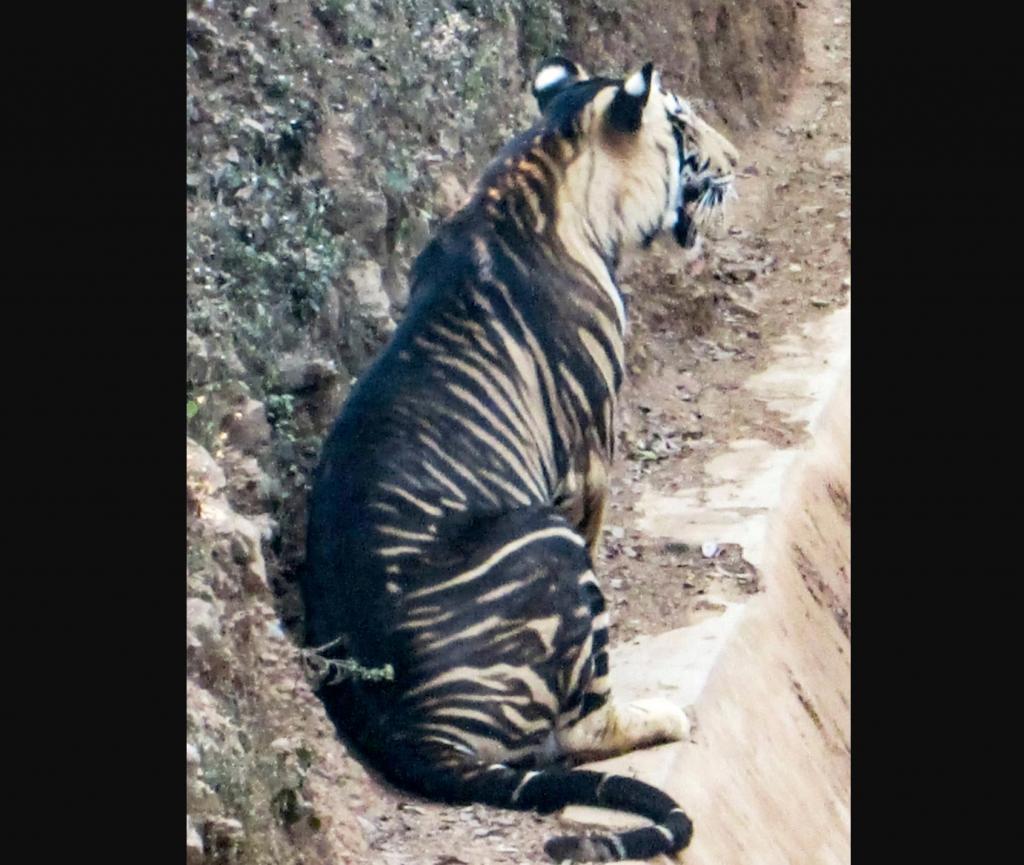 Один на миллион: в Индии нашли тигра с необычным черным окрасом (фото)