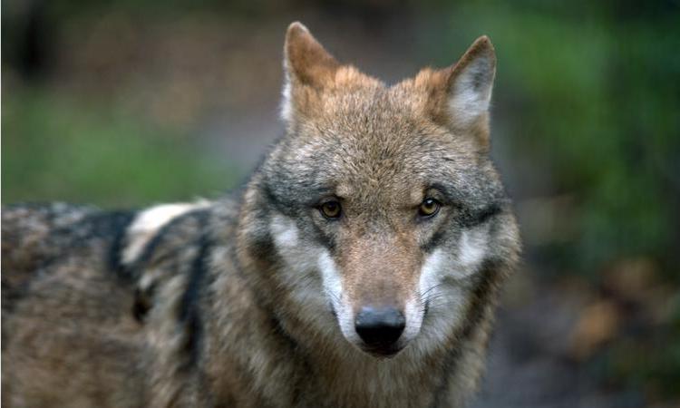 Лишились главного символа: в лесах Тамбовской области популяция волков сократилась до двух животных