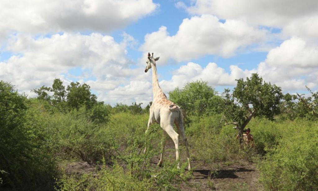 Белому жирафу поставили электронную метку, чтобы уберечь от браконьеров