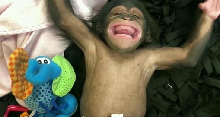 Пощекотать шимпанзе: двухмесячная обезьянка играет погремушками и впервые смеется (видео)
