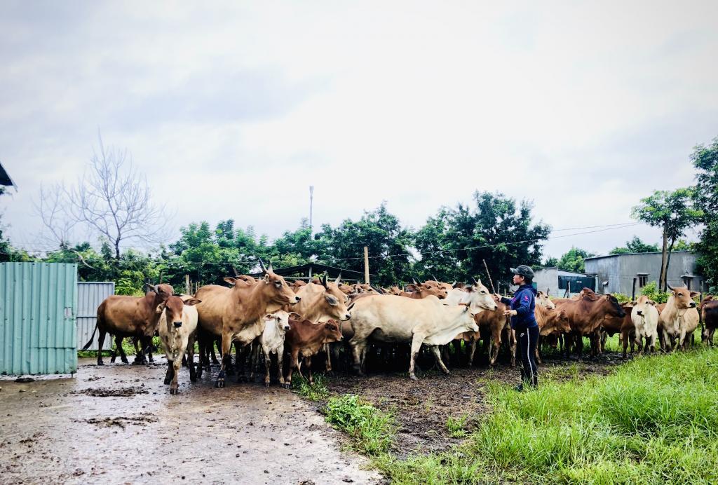 Когда технологии развиваются, людям все еще не хватает ресурсов для ... скота: во Вьетнаме ищут пастуха на хорошую зарплату и полный соцпакет