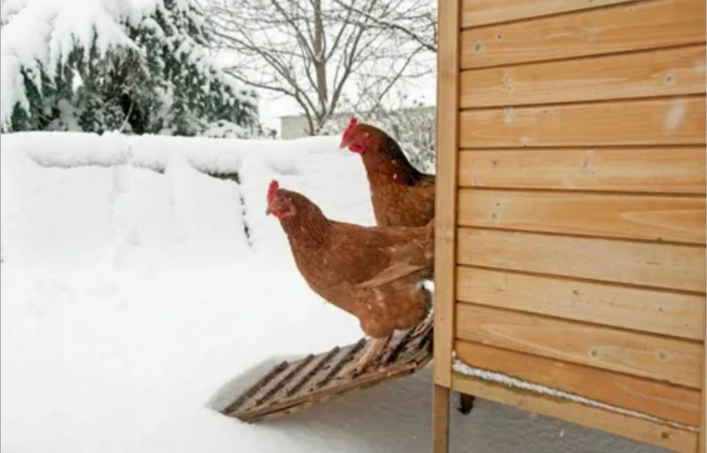 Как заставить кур нестись зимой: дачница поделилась своим успешным опытом