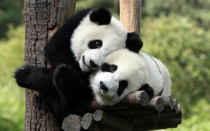 Оргазм у панд фото 140-595