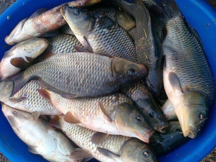 Три вида рыбы, которой ни в коем случае нельзя кормить своего кота, если дорожите его здоровьем (а многие специально покупают для него бычков, которые вредны)