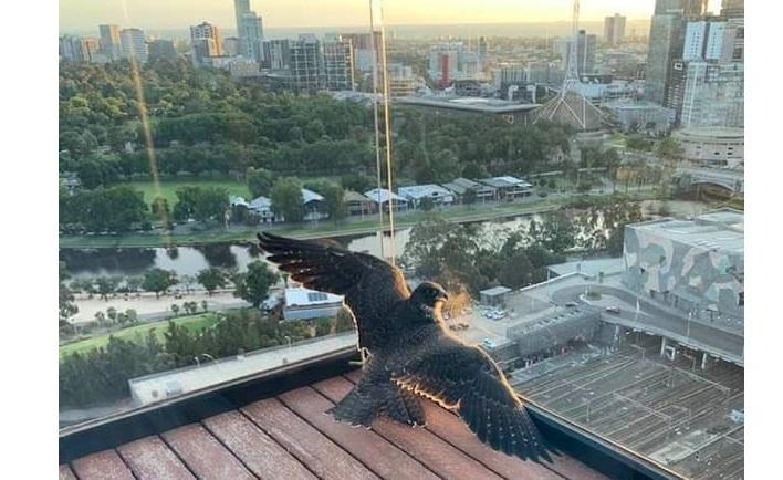 «Не смогла пройти мимо застрявшего на балконе сокола, который вырос на моих глазах»: женщина рассказала о спасении птицы