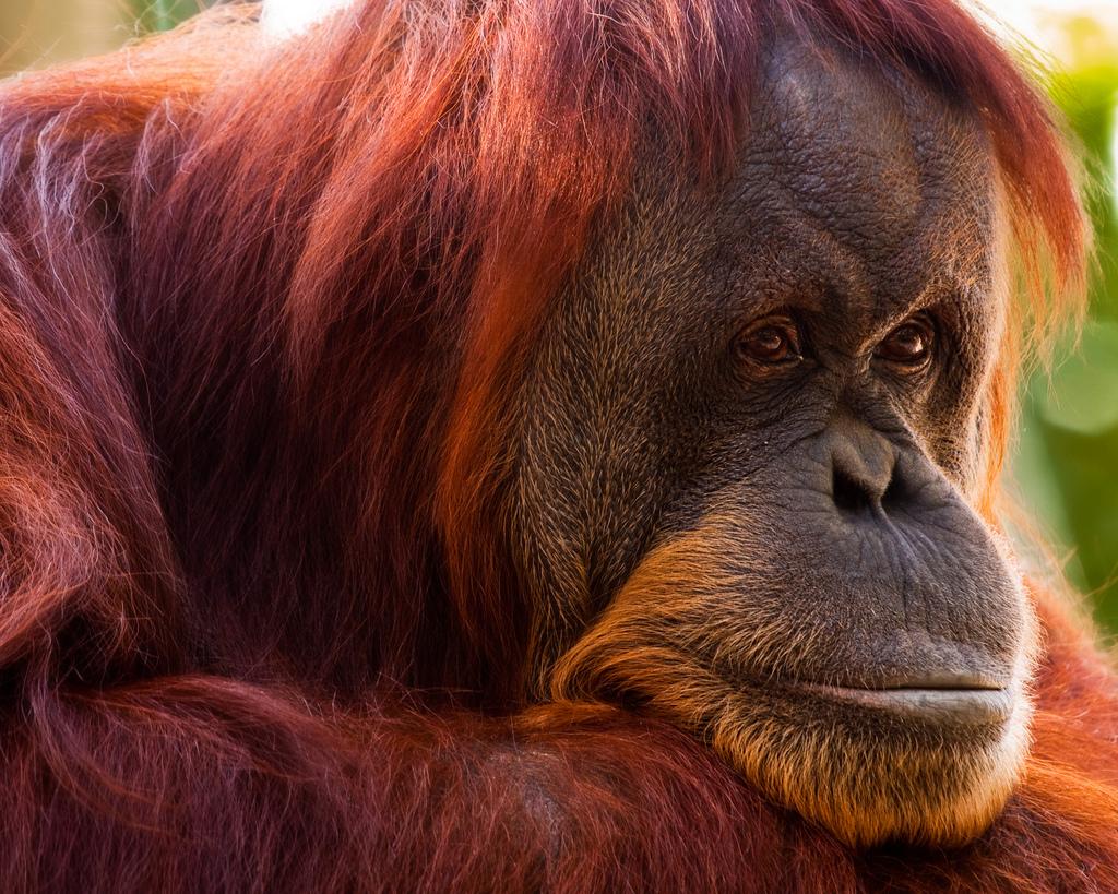 Tapanuli орангутан находится под угрозой исчезновения: животные борются за выживание после того, как их загнали в горы охотой и вырубкой лесов