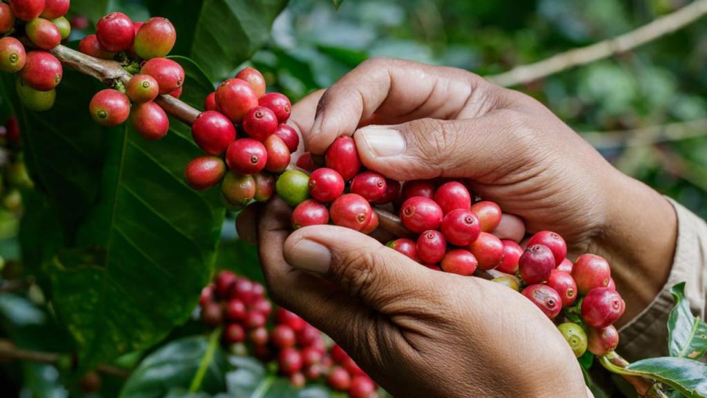 Способ производства кофе может иметь большое значение для климата: сократить негативное влияние на окружающую среду можно на 77 %