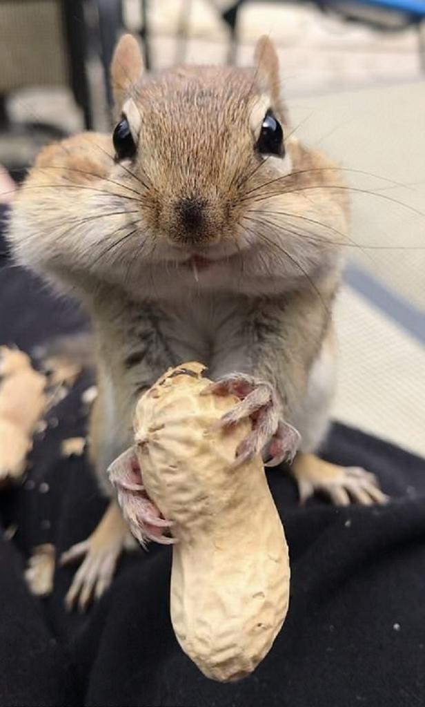 Девушка угостила бурундука арахисом и сфотографировала, как он попытался засунуть орешки в рот (фото)