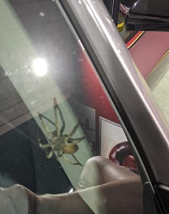 Женщина выгнала огромного паука из машины, но вскоре обнаружила еще больше незваных гостей