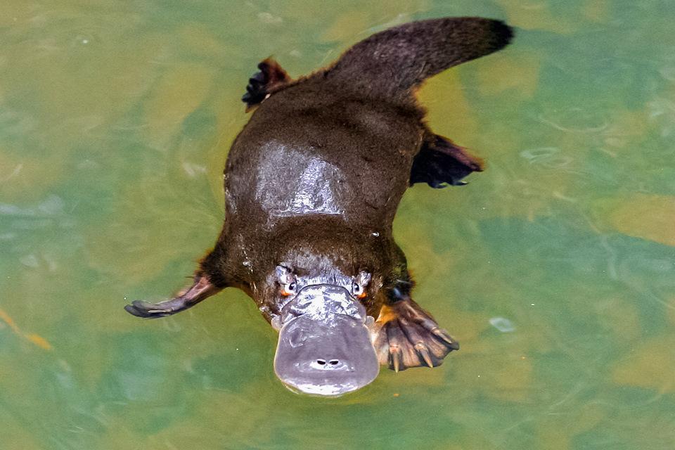 Изменение климата может привести к исчезновению утконоса в разных частях Австралии