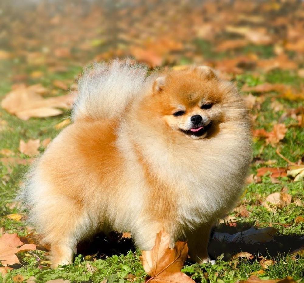Померанские шпицы - очень дорогие собаки: от чего зависит их цена