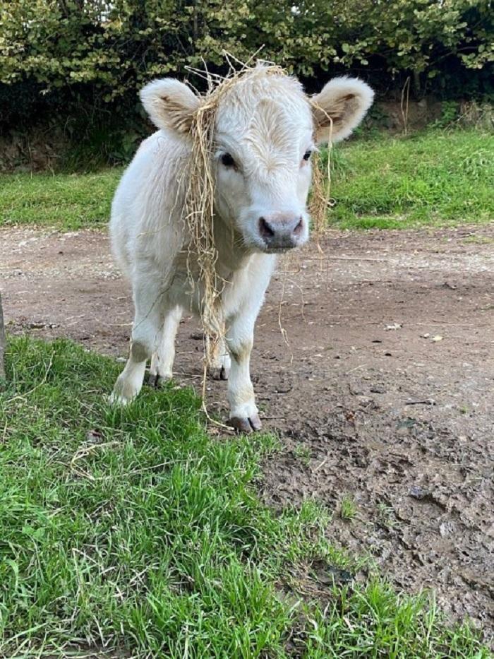 «Щенок с рожками»: семья вырастила теленка с собаками, и это очень мило (фото)