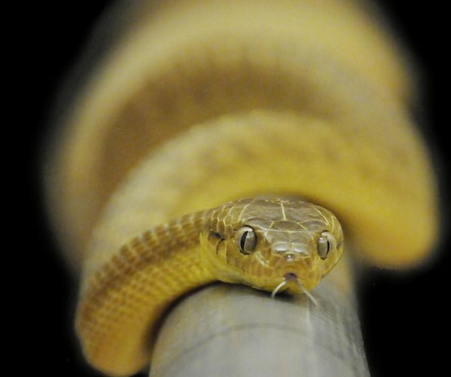 Хитрые змеи придумали, как использовать свои тела в качестве лассо, чтобы взбираться на столбы, разработанные для защиты гнезд птиц