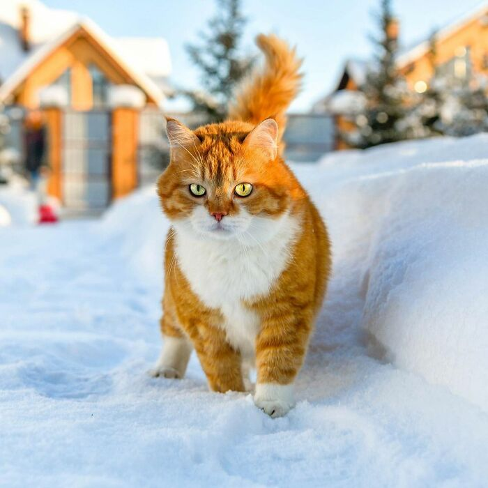 Кот Джинджер, который обожает снег. Рыжий пушистик влюбил в себя Интернет (подборка милых фото)