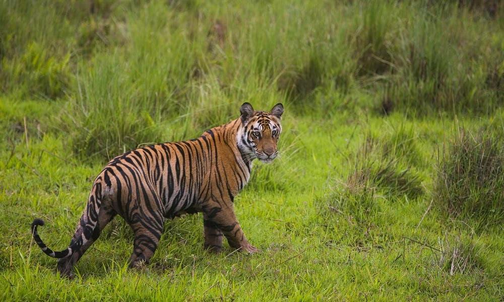 Тигров постепенно становится больше: промежуточные результаты программы Всемирного фонда дикой природы