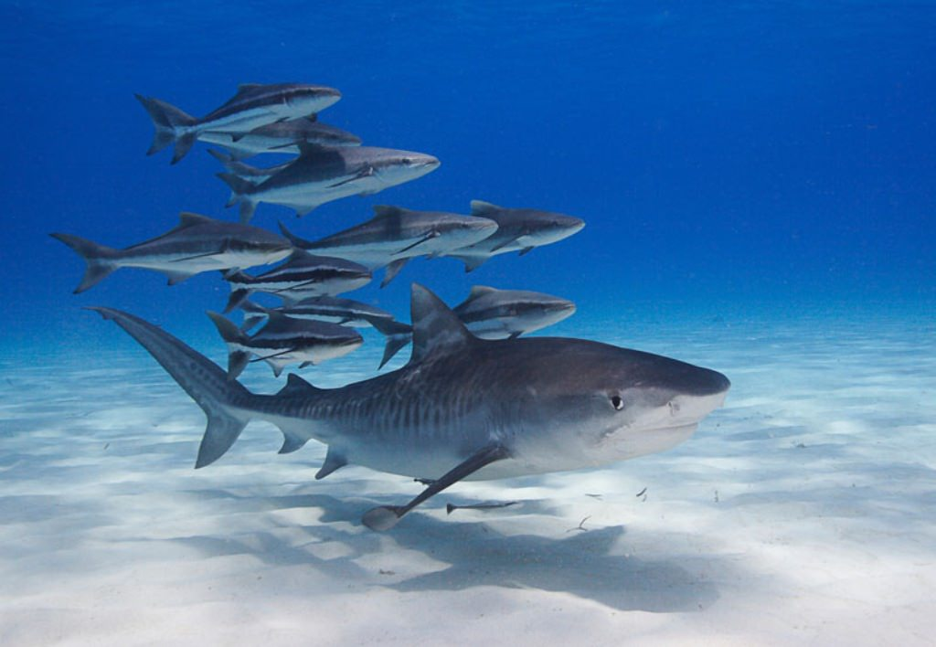 Потепление океанов становится причиной того, что детеныши акул рождаются меньших размеров, недоедающими и истощенными