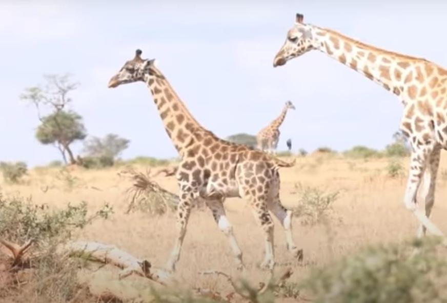 Карликовые жирафы были замечены в Уганде и Намибии