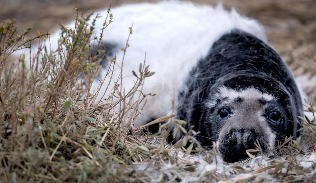 """Редкие черные детеныши тюленей замечены в природном заповеднике """"Блейкни Пойнт"""" в Норфолке"""