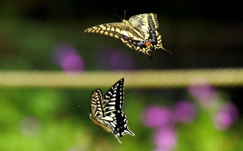 """Бабочки не просто хлопают крыльями: так образуется """"карман"""", создающий реактивное движение, показывают исследования"""