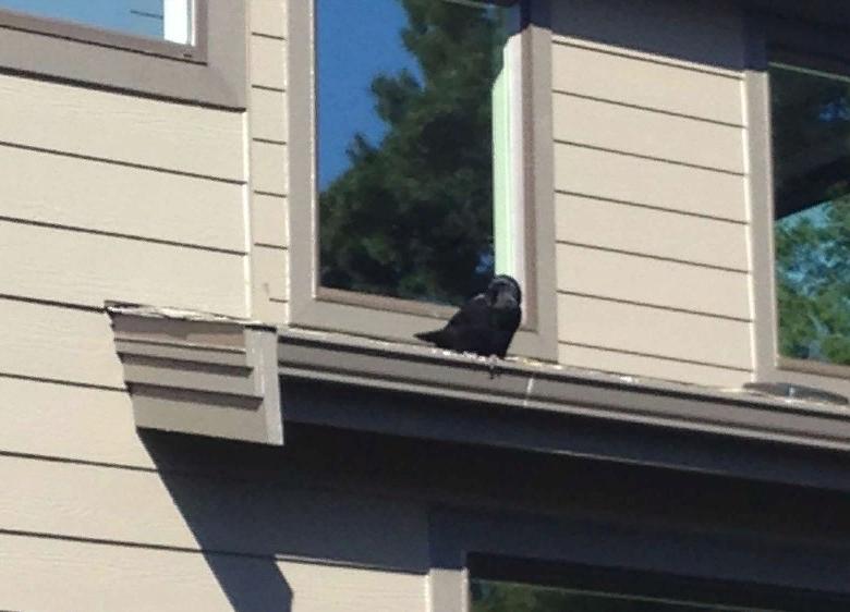"""""""Тут до нас дошло, что вороны оставляют нам подарки в знак благодарности"""": мужчина никогда не думал, что подружится с птицами"""