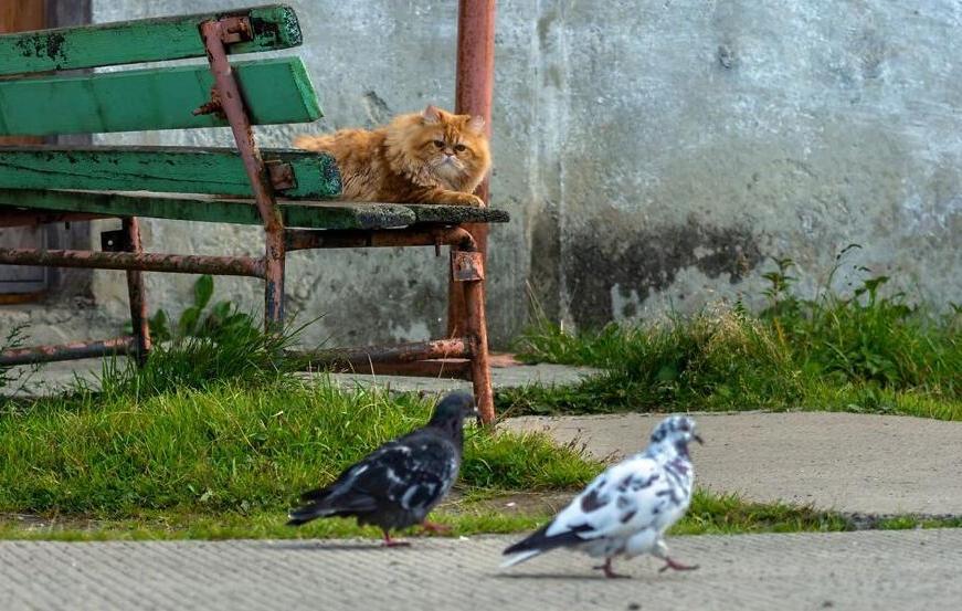 Пермскому фотографу удалось пошагово заснять охоту рыжего кота на голубей. Получилось одновременно и эпично, и мило