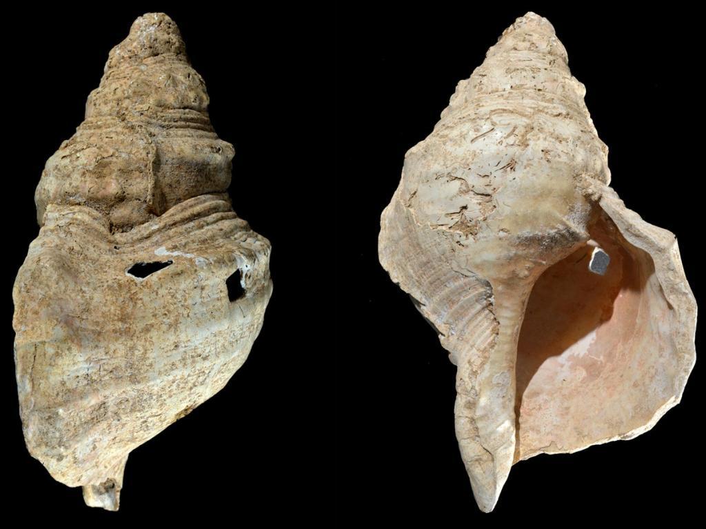 Непростая ракушка: ученые обнаружили 18 000-летний музыкальный духовой инструмент, древнейший в истории