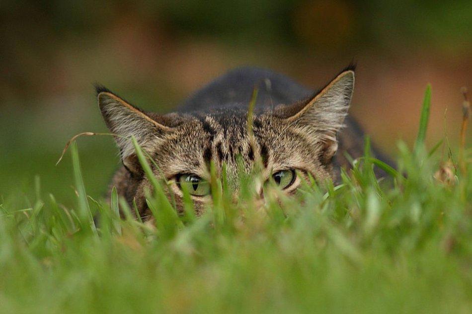 Ученые утверждают, что игра с кошкой в течение пяти минут в день и кормление мясной пищей позволяют усмирить ее природный инстинкт охотника