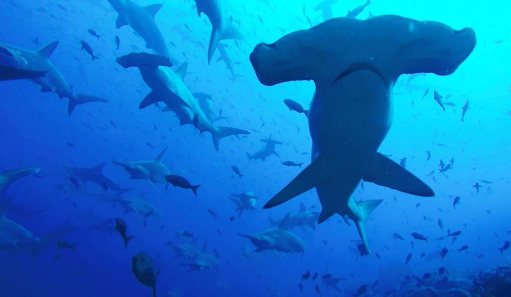 Семьдесят процентов исчезло за полвека: скатам и акулам в Мировом океане грозит вымирание