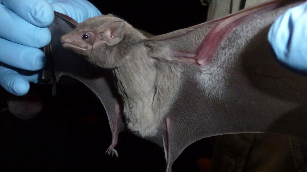ВОЗ о происхождении COVID-19: животные на рынке, зараженные летучими мышами, могли быть источником вируса