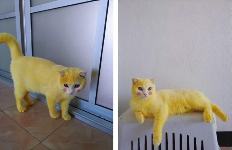 Случайно прославилась в Сети. Девушка пыталась вылечить кошку. В итоге та стала похожа на покемона Пикачу