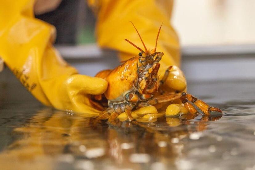 Крайне редкий случай: мужчина выловил желтого лобстера и подарил его ученым. Рак Банан живет теперь в Центре морских наук