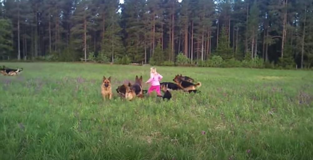 Кто сказал, что овчарки опасны? На видео 5-летняя девочка играет с 14 собаками