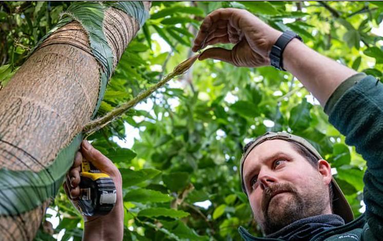 Редкий амазонский кактус, пахнущий духами, впервые зацветет в Великобритании и будет цвести один раз в течение 12 часов, прежде чем погибнет