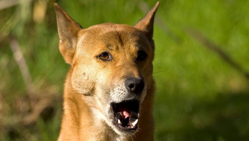 10 уникальных пород собак, которых вряд ли можно встретить на прогулке: мало кто решается их завести