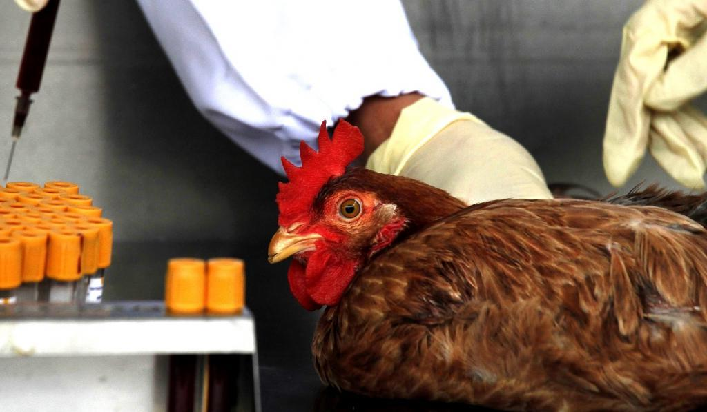 Ученая опровергла вероятность заражения птичьим гриппом при употреблении курицы