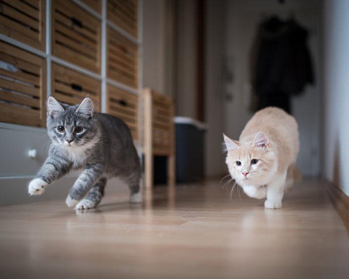 Борьба за власть закончилась, или Как домашним кошкам удается уживаться, когда их более одной