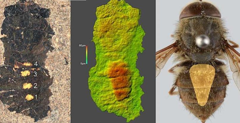 В Германии найден древний, ранее неизвестный вид мухи возрастом 47 млн лет