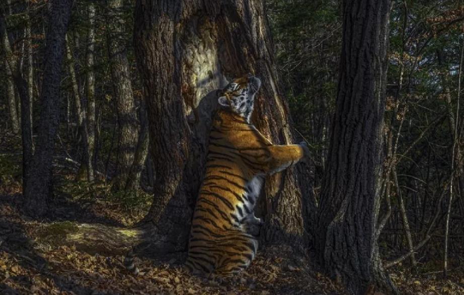 Объятия тигра, самый яркий примат, камуфляж бегемота: красивые фотографии дикой природы со всего мира