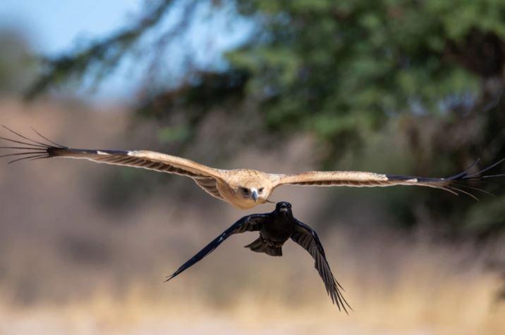 Ворон напал на орла: женщина успела сделать несколько эпичных фото