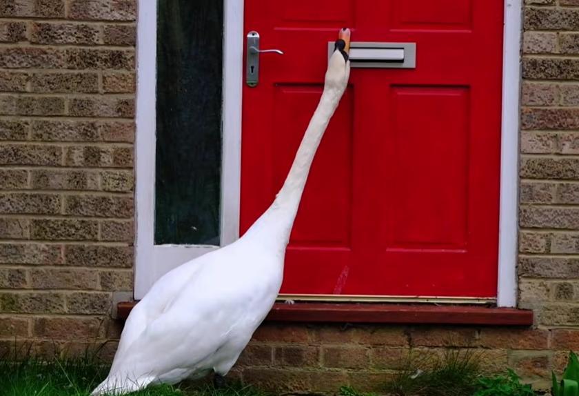 Пять лет лебедь Седрик приходит в гости к местным жителям и стучит клювом в дверь (видео)
