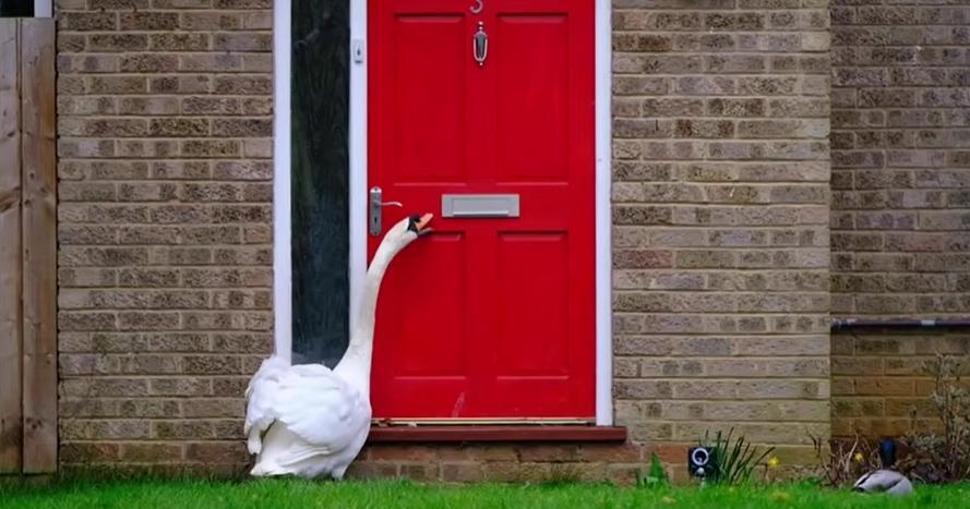 Местная знаменитость: 5 лет лебедь Седрик ходит в гости к жителям (видео)