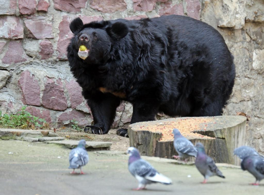"""""""Медведь, выходи!"""" - так звали дети выходящих из зимней спячки медведей в Московском зоопарке"""
