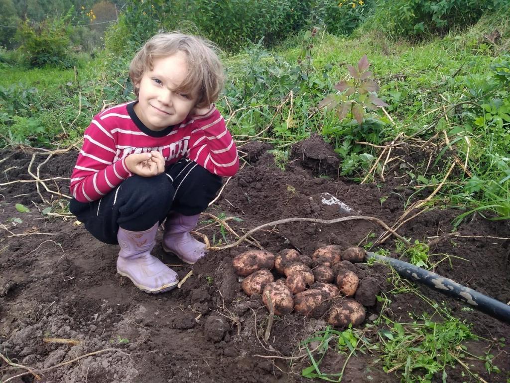 """Российским дачникам пригрозили штрафами за выращивание и продажу """"не того"""" картофеля"""